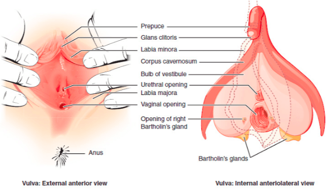clitorus vagina and between Difference